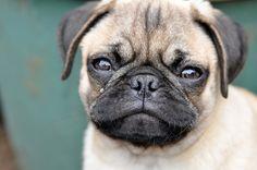 pretty pug!