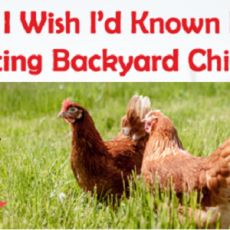 What-I-Wish-I'd-Known-Before-Getting-Backyard-Chickens