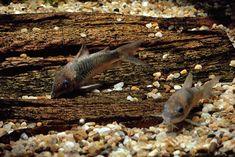 Pet Central explores diagnosing and treating Red blotch disease in Corydoras Catfish. Planted Aquarium, Aquarium Fish, Pool Filter Sand, Aquarium Maintenance, Fish In A Bag, Marine Aquarium, Types Of Fish, Healthy Environment, Organic Matter
