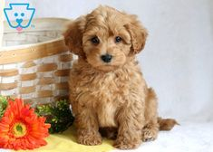 Ace | Maltipoo Puppy For Sale | Keystone Puppies