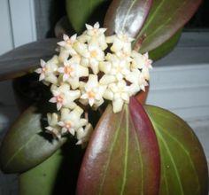 Hoya Pottsii blooms