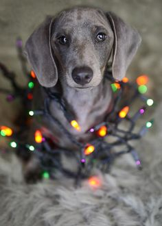 Slinky the Doxie