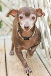 Tommy (lk) is an adoptable Chihuahua Dog in Hudson, NH. Tommy was rescued along with 65 other Chihuahuas from a hoarder.  They were living in deplorable circumstances.  Tommy is a very sweet boy and l...