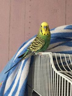 LOST BUDGERIGAR: 09/09/2016 - Carshalton, London Borough of Sutton, Greater London, England, United Kingdom. Ref#: L26306 - #ParrotAlert #LostBird #LostParrot #MissingBird #MissingParrot #LostBudgerigar #MissingBudgerigar