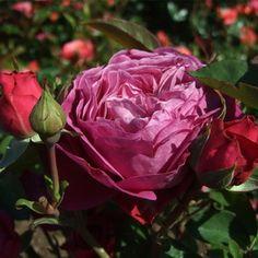Heidi Klum. Storblomstrede, crimsonrød. Duft: kraftig, højde: 20-50 cm, bredde: 40-50 cm. Blomsterstørrelse: 6-8 cm.