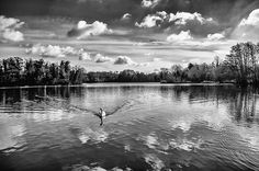 'This is a picture of Rickmansworth Aquadrome. I loved the way that the swan causes ripples on the surface of the lake. The light was perfect for creating reflections of the clouds and trees' Photograph: Adrian Jones