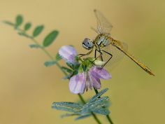 Dragonfly and a flower by *dralik on deviantART