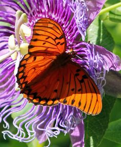 This butterfly is getting the goods while it still can. The burst of orange against the purple passion flower is quite a sight.