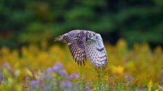 Long Eared Owl by NHLinh on 500px