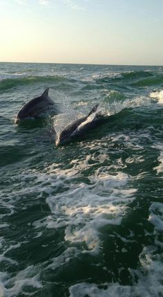 Dolphins playing in Clearwater, Florida. Go to www.YourTravelVideos.com or just click on photo for home videos and much more on sites like this.