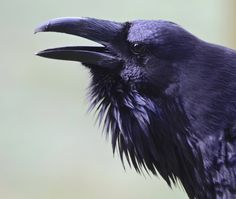 Your Daily Raven Raven Bird, Quoth The Raven, Dark Wings, Crow Art, Jackdaw, Crows Ravens, Creature Feature, Bird Feathers, Spirit Animal