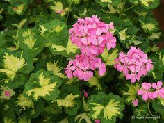 Pelargonium Pink Happy Thought. Zonal.