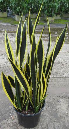 Sansevieria trifasciata black gold