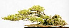 Image result for windswept bonsai