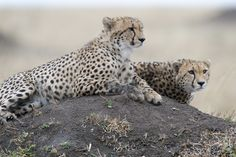 wild-diary:   Double Vision |Ray Morris - Cheetahs and Things