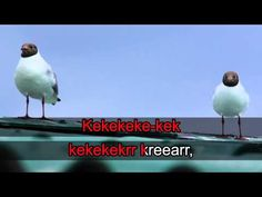 Lintukaraoke: Naurulokki (video 0:34). Science Art, Science And Nature, Geography, Teaching, Youtube, Poster, Birds, Animals, Spring
