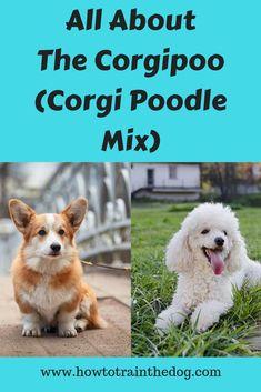 All About The Corgipoo (Corgi Poodle Mix): Facts Corgi Facts, Puppy Facts, Corgi Poodle Mix, Pet Dogs, Dog Cat, Puppy Breeds, Dog Show, Poodles, Corgis