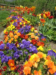 Pansies and tulips at Dumbarton Oaks.