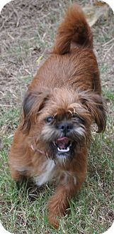 Southington, CT - Brussels Griffon/Terrier (Unknown Type, Small) Mix. Meet Malla, a dog for adoption. http://www.adoptapet.com/pet/16822242-southington-connecticut-brussels-griffon-mix