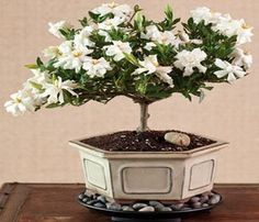 How To Easily Grow A Gardenia Plant... Can You Imagine Your Room Smelling