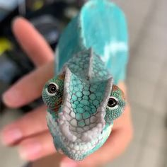 his chameleon is so cutee!😍😍 Currently, there are around 200 different chameleon species, 44 percentof which can be found on Cute Creatures, Beautiful Creatures, Animals Beautiful, Strange Creatures, Beautiful Beautiful, Cute Reptiles, Les Reptiles, Funny Lizards, Pet Lizards