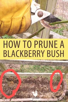 Pruning blackberry bushes is less about the technique and knowing which ones to prune and when. Prune, Blackberry Bush, Growing Fruit, Pruning Blackberries, Growing Blackberries, Homesteading, Compost Mulch, Berry Plants, Blackberry Plants