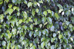 Dunklen und mittleren gr�nen l�ngliche Bl�tter von einem immergr�nen Strauch Ficus Nahaufnahme auf einem sonnigen Tag in Florida gesehen au�erhalb photo