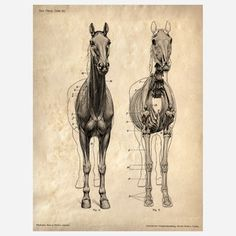 Horse Anatomy Print now featured on Fab.