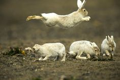 Young Arctic Hares ~ Fred Lemire