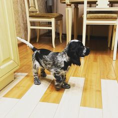 14 Adorable Facts About English Cocker Spaniels Springer Puppies, English Cocker Spaniel Puppies, Blue Roan Cocker Spaniel, Cute Dogs And Puppies, Baby Puppies, Pet Puppy, I Love Dogs, Cockerspaniel, Happy Puppy