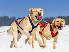 labrador in snow Labrador Retrievers, Labs, I Love Dogs, Dog Lovers, Snow, Animals, Labrador Retriever, Animales, Animaux