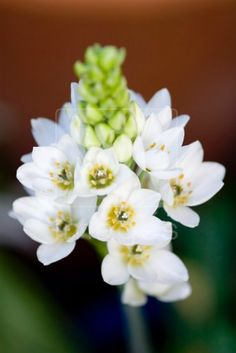 Wonder-flower chincherinchee ornithogalum thyrsoides origin : Cape , South Africa
