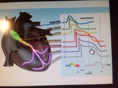 EKG tracing the Electrical conductivity of the heart
