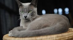 Burmese cats come in shades of  blue-grey, chocolate and champagne.