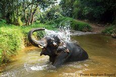 Elephant at Khao lak