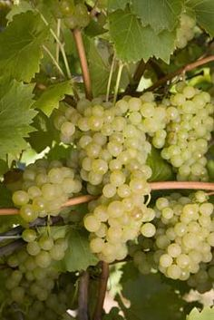 How To Grow Your Own Wine, great article out today from growveg.com