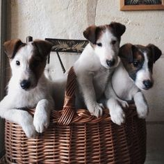 Three Jack Russell Terriers in a basket Jack Russell Terriers, Cute Puppies, Cute Dogs, Dogs And Puppies, Doggies, Terrier Puppies, Smooth Fox Terriers, Jack Russells, Mans Best Friend