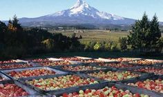 Orchards and vineyards blanket the Hood River Valley in the shadow of Mt. Hood.
