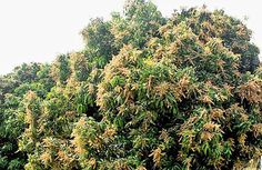 Mango hub goes the organic way