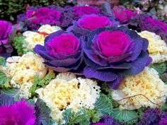 Ornamental Brassica Cabbages in Assorted Colours - Patio Plants - Garden Plants Patio Plants, All Plants, Garden Plants, Indoor Succulents, Veg Garden, Cabbage Plant, Red Cabbage, Ornamental Cabbage, Ornamental Plants