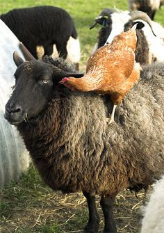 """'Sheep and Pushy Hen #2' - photo by Hindolbittern, via Flickr; """"One of [the] new hens has discovered bare back riding. The sheep don't like it but can't really do much about it."""" ... A comment about the photo: """"Maybe she is the next herding sensation at the Sheep [Herding] trials?  or a sheep whisperer?"""