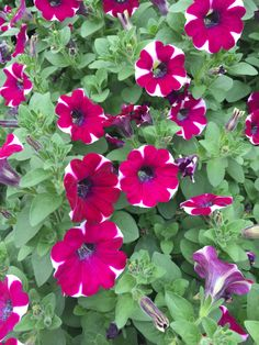 Cascadia Bicolor Cabernet Petunia