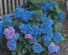 Susan Schlenger ~ These Hydrangea flowers are spectacular (Forever and Ever Hydrangea)