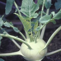 Kohlrabi: A Growing Guide | Rodale's Organic Life