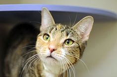 """""""Ear Care (for cats)"""" (with sub headings such as Outer Ear Check, Inner Ear Exam, Ear Cleaning 101 & Signs of Ear Problems)  (article)  [www.ASPCA.org]"""