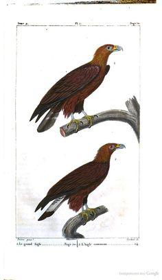 "The Eagle in ""Oeuvres complètes de Buffon: Oiseaux""  from Georges Louis Leclerc de Buffon, 1817-1819. #Booktower"