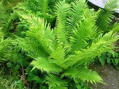 Straußenfarn Matteuccia struthiopteris Shade Garden, Garden Plants, House Plants, Tropical Garden, Tropical Plants, Fern Forest, Jungle Gardens, Belle Plante, Pond Design