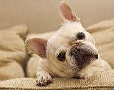 Perro bulldog francés blanco en un sillón