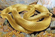 ABSOLUTELY BEAUTIFUL!!! Golden Snake.