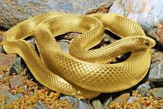 ABSOLUTELY BEAUTIFUL!!!  Golden Snake.